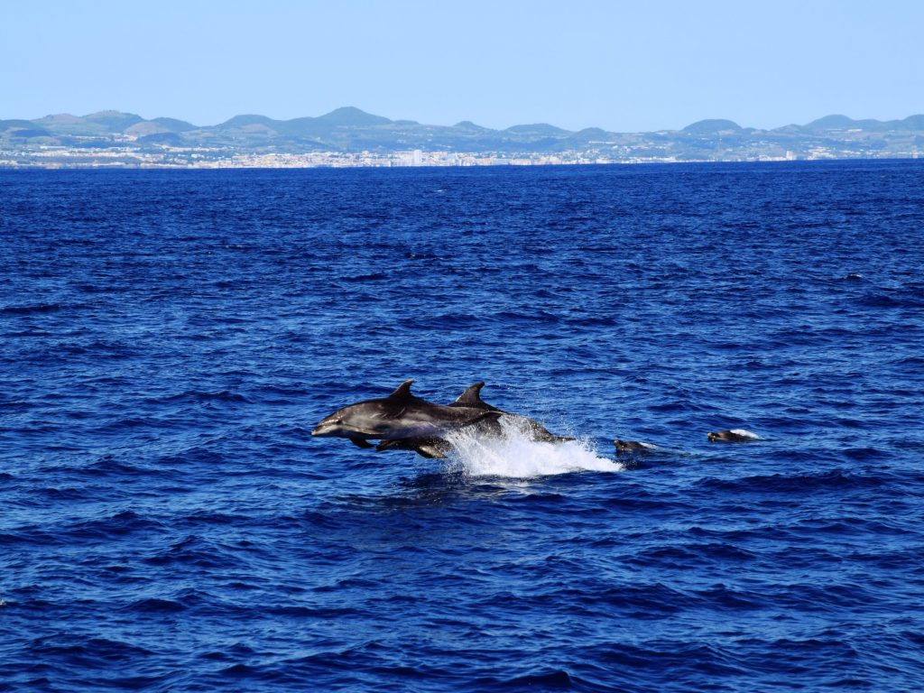 jumping Dolphins in front of São Miguel