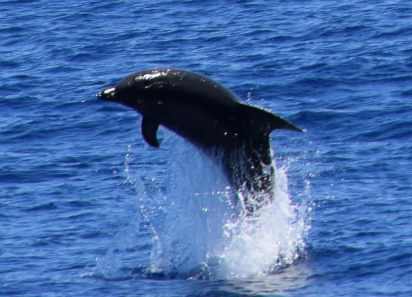 jumping Bottlenose Dolphin near São Miguel