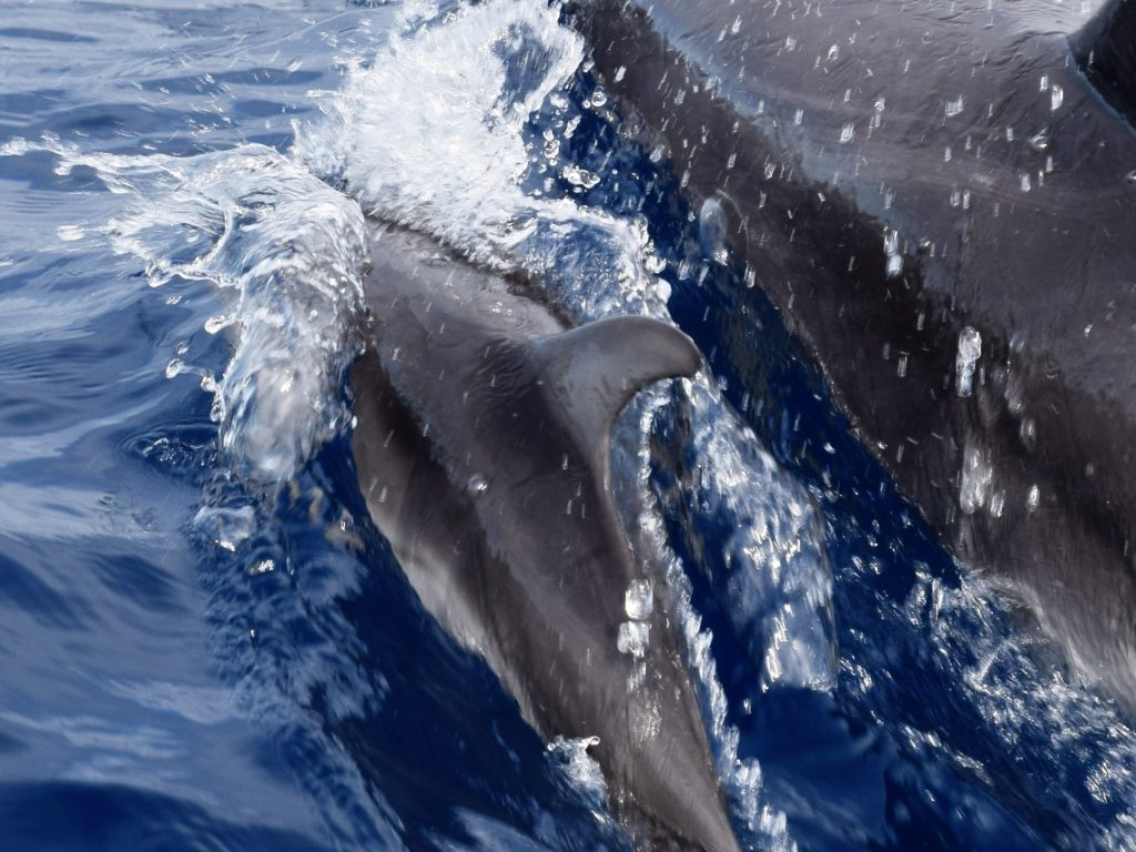 Dolphin baby with mother in front of São Miguel