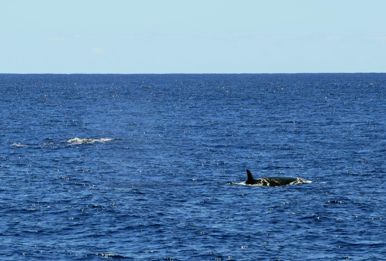 Sei whale near Sao Miguel