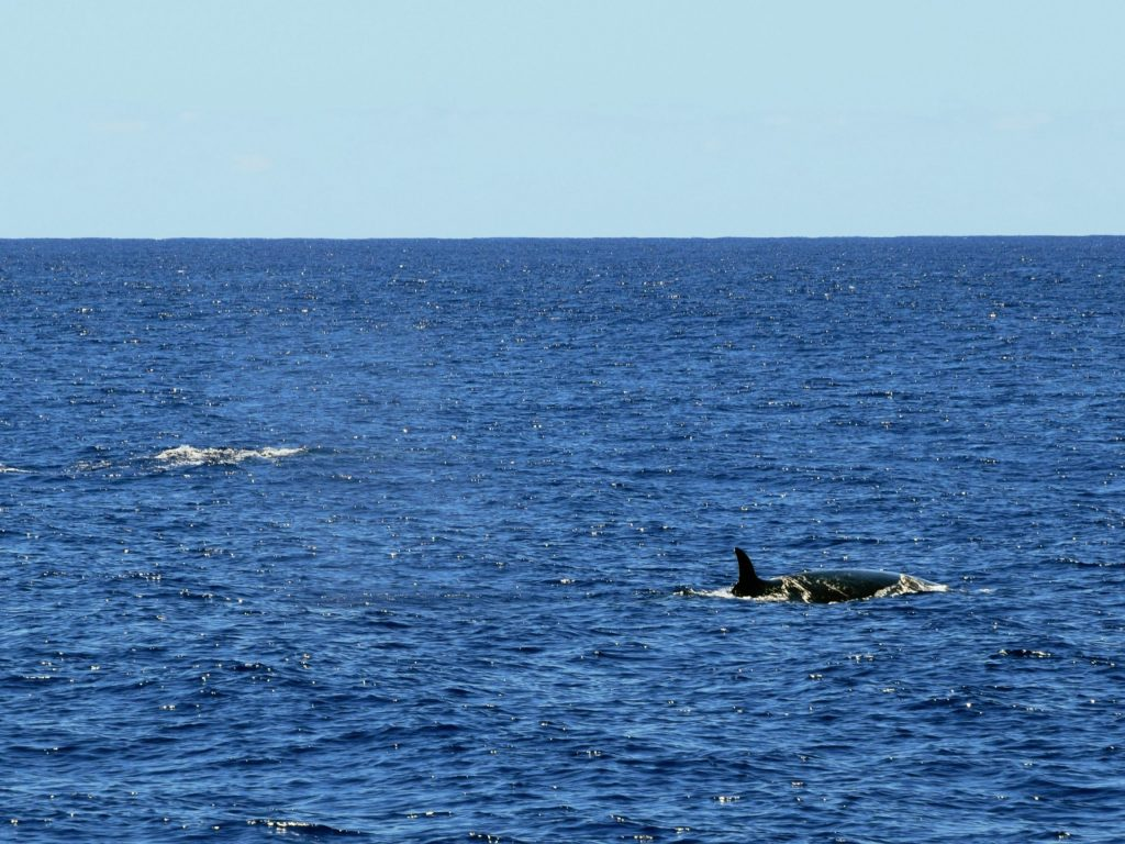 Sei whales near Sao Miguel