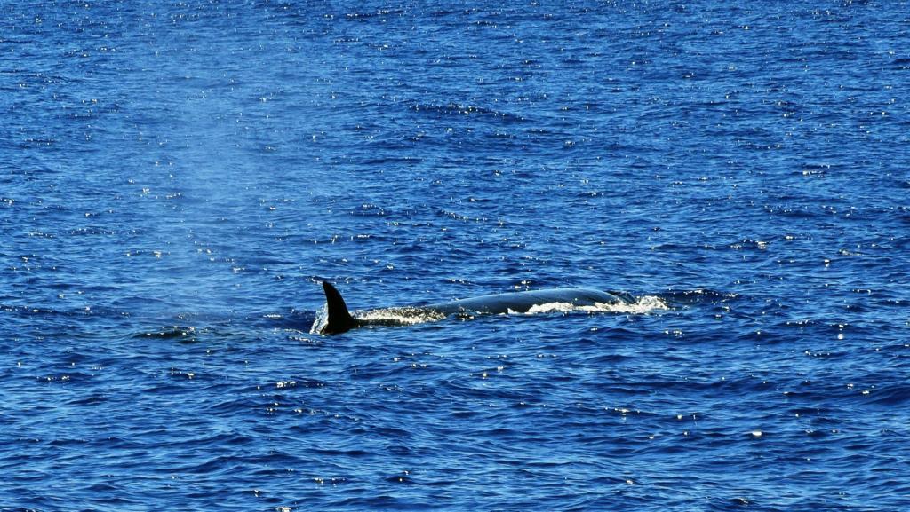 Sei whale near São Miguel