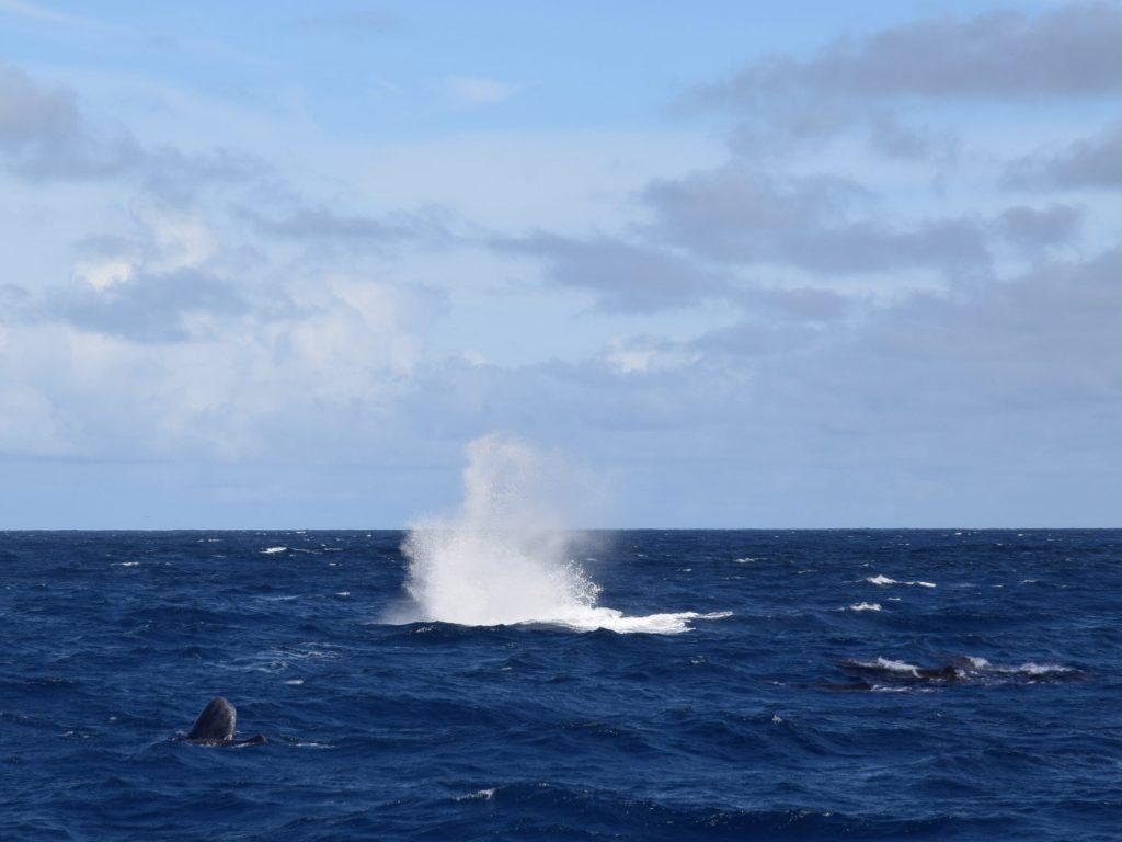 Group of Sperm whales near São Miguel