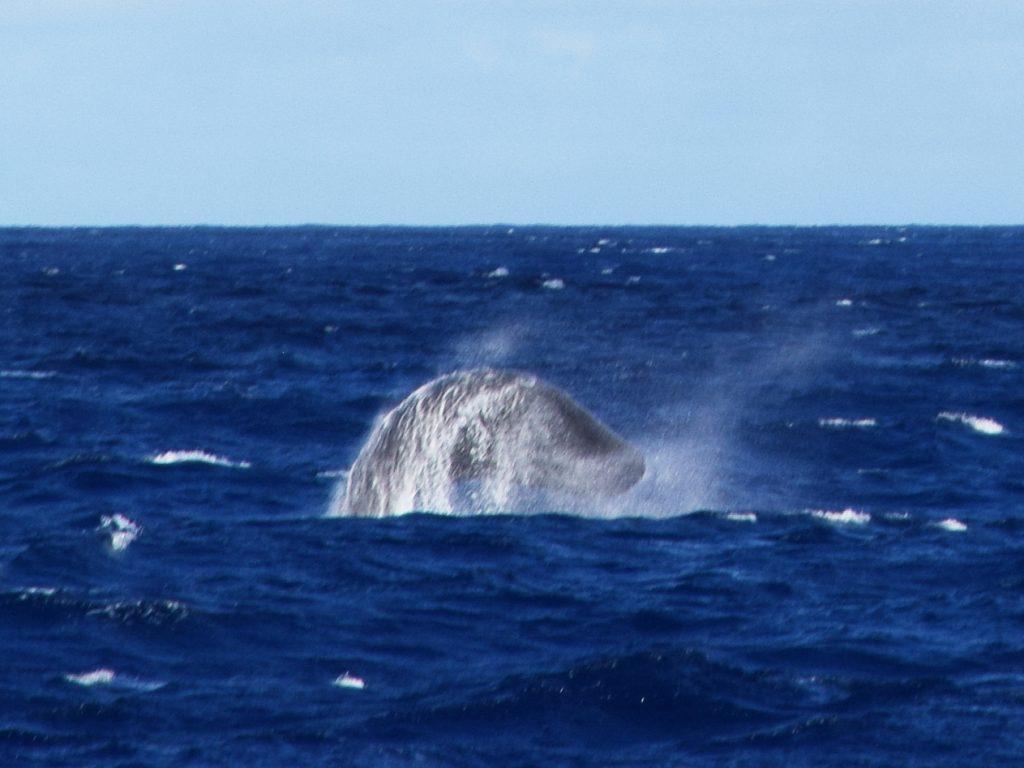 Jumping Sperm whale near São Miguel