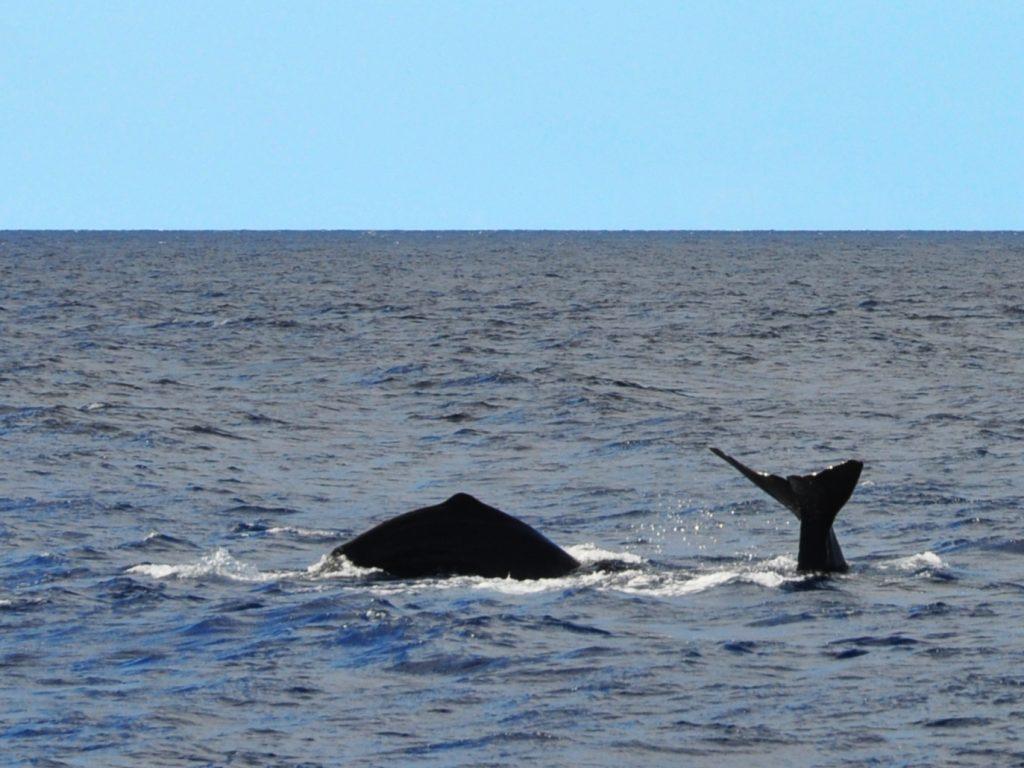 Sperm whales diving