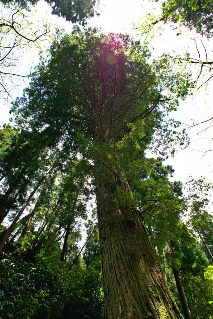 Impressive giant sequoia in the Mata Jardim José do Canto