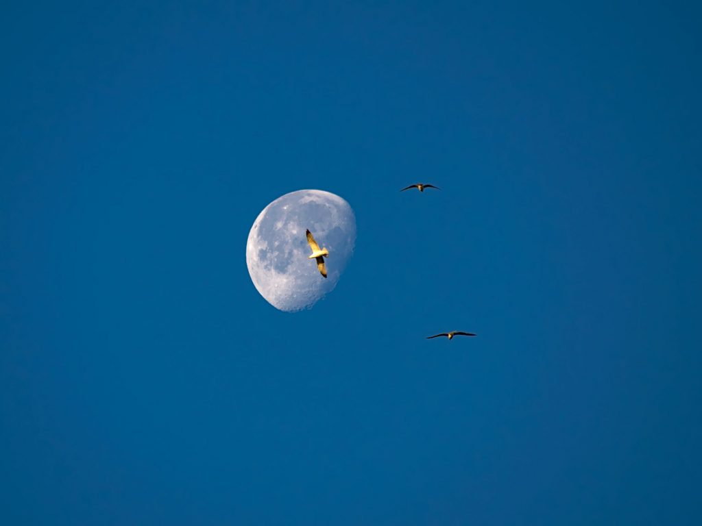 Birds in front of the moon in the morning by the Lagoa do Fogo