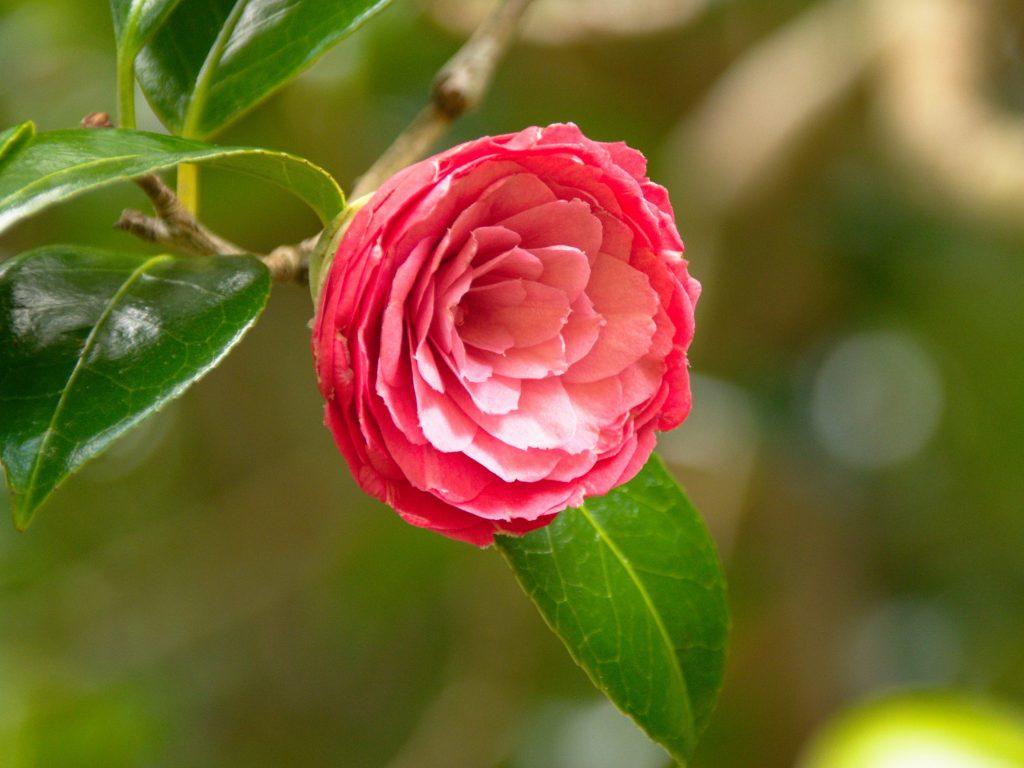 Camellia blossom in the Mata Jardim José do Canto