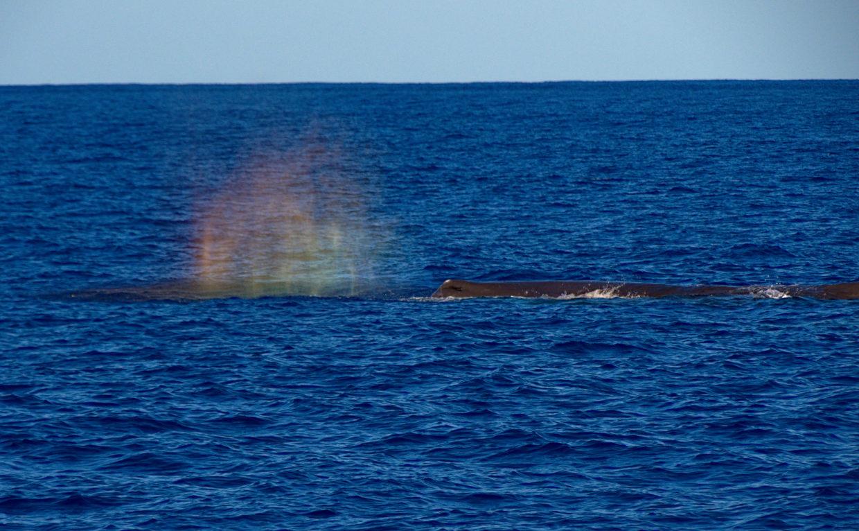 "Rainbow in sperm whale ""Mr. Liable""'s mist"