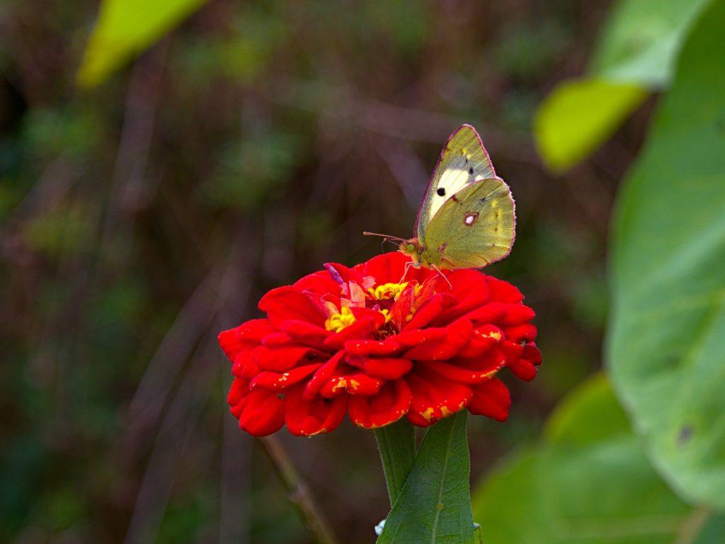 Butterfly on flower at Miradouro da Ponta do Sossego