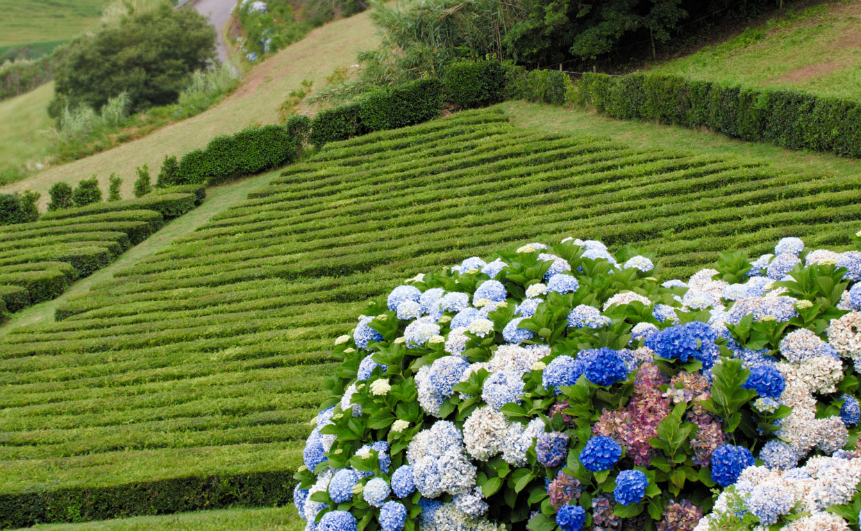 "Hydrangeas by the tea plantation ""Chá Porto Formoso"""