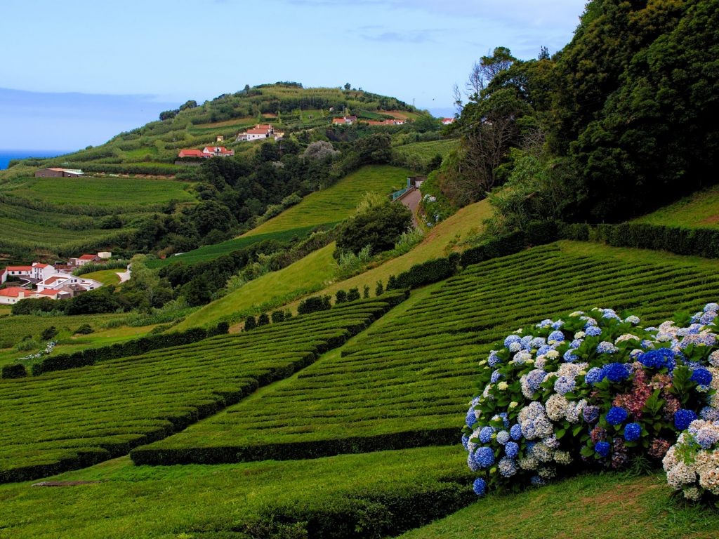 "Tea plantation ""Chá Porto Formoso"""