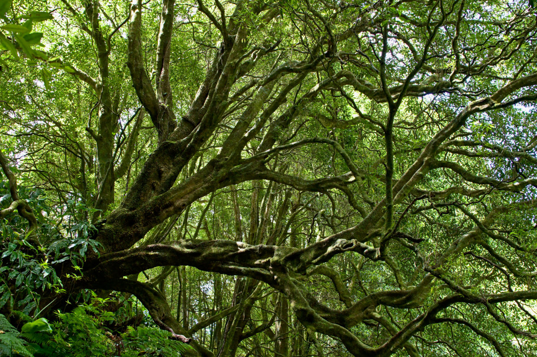 Trees in special shapes on the way along the Ribeira do Faial da Terra