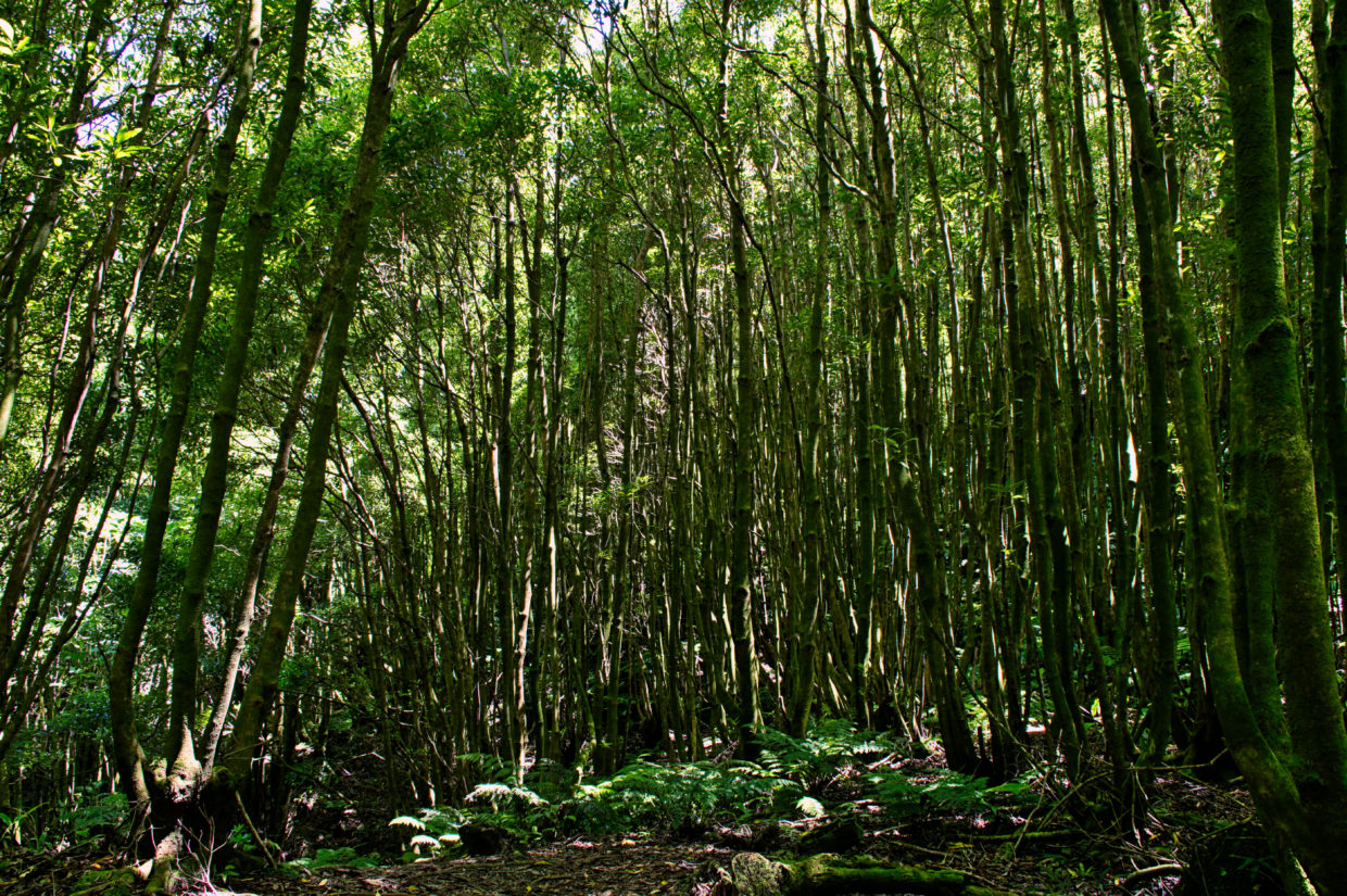 Parallelly growing trees in special shapes on the way along the Ribeira do Faial da Terra