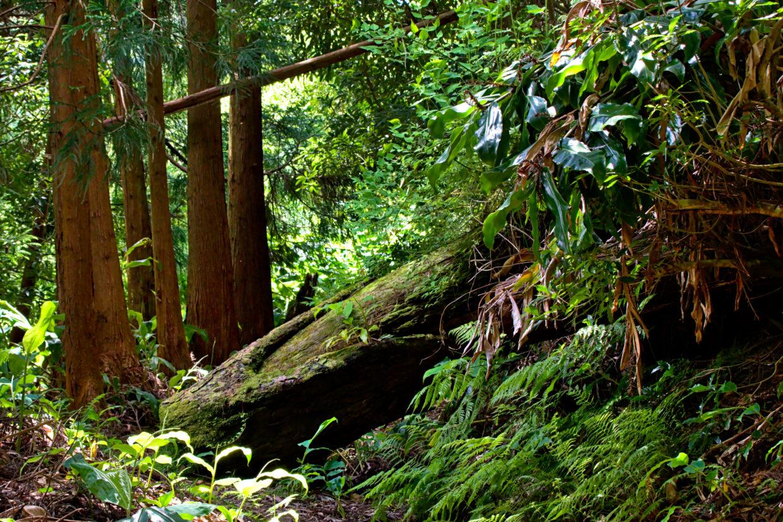 Fallen trees on the path along the Ribeira do Faial da Terra