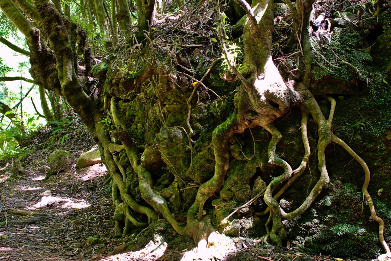 Wurzeln mit besonderen Formen bei der Wanderung entlang des Ribeira do Faial da Terra