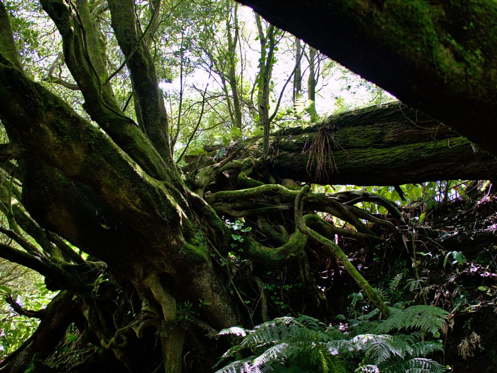 Trees with interesting shapes on the hiking trail from the Pico do Ferro to the Lagoa das Furnas