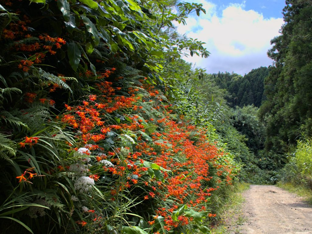 Crocosmias on the way to the Pico da Mafra