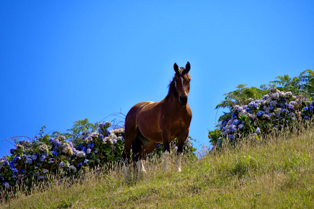 Horse on the way to the Pico Queimado